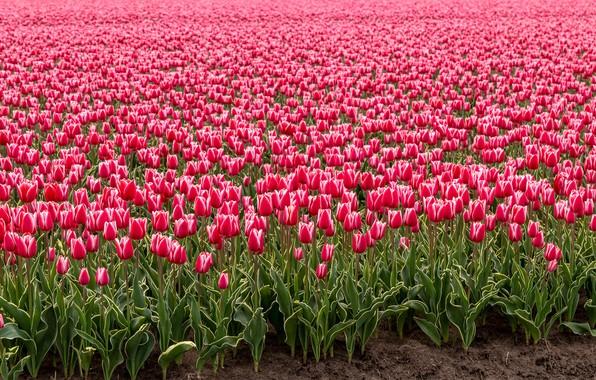 Картинка поле, цветы, весна, тюльпаны, розовые, бутоны, много, Голландия, плантация, тюльпановое