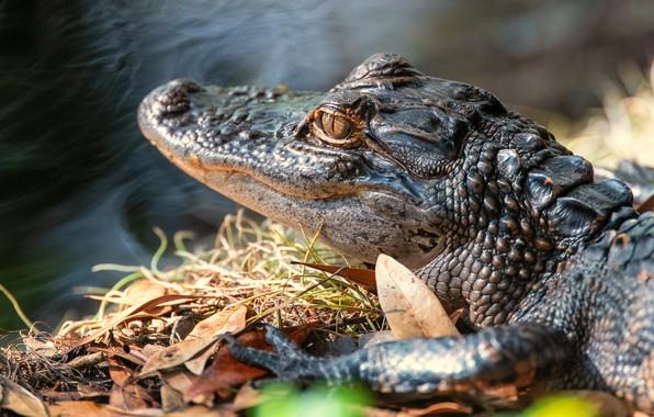 Картинка крокодил, детеныш, водоем