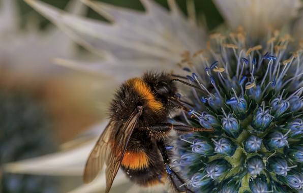 Картинка цветок, макро, пчела, фон, пыльца, насекомое, шмель, опыление