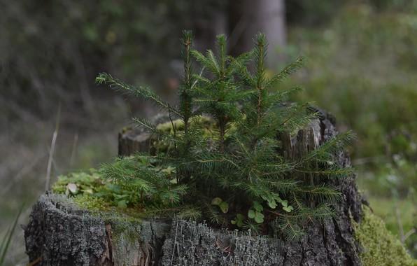 Картинка лес, мох, пенек, елочки