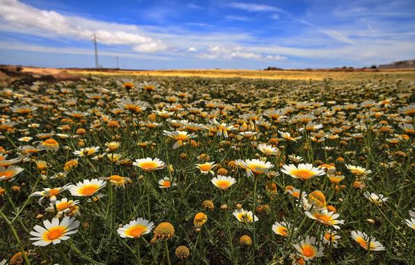 Картинка поле, небо, ромашки