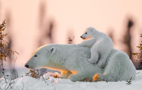 Картинка снег, медвежонок, медведица, Белые медведи, Полярные медведи