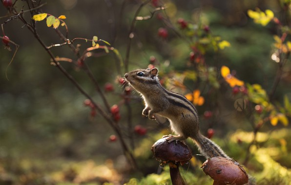 Картинка осень, лес, грибы, бурундук, стойка, грызун, зверюшка