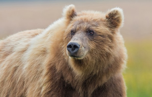 Картинка морда, фон, медведь, зверь, топтыгин