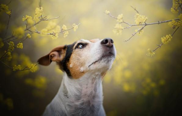 Картинка взгляд, морда, цветы, ветки, желтый, природа, туман, фон, портрет, собака, размытие, весна, желтые, сад, нос, …
