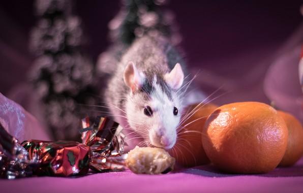 Картинка взгляд, свет, фон, розовый, праздник, еда, размытие, мышь, мышка, мордочка, Новый год, зверек, фрукты, конфета, …
