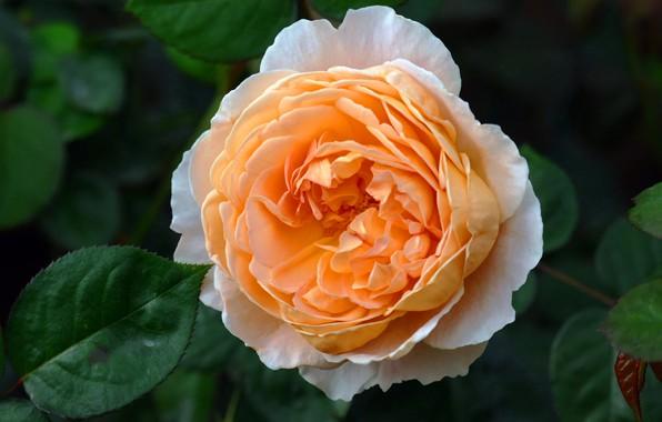 Картинка цветок, листья, фон, роза, оранжевая, сад, пышная