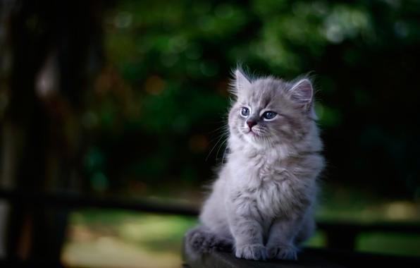 Картинка фон, портрет, размытость, малыш, котёнок
