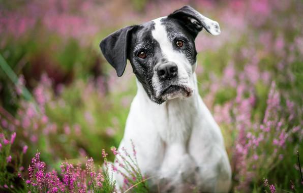 Обои взгляд, морда, цветы, природа, черно-белая, портрет, собака, розовые, размытый фон, кареглазая, пятнистая, вереск
