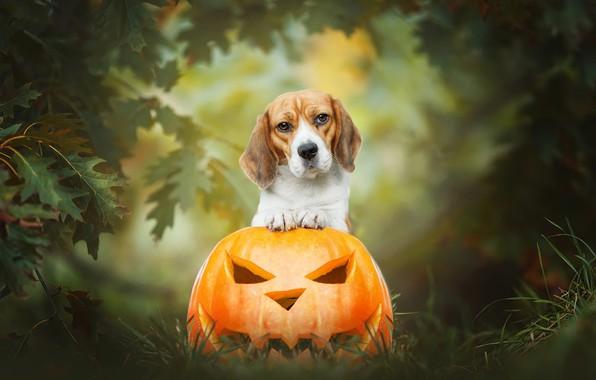 Картинка осень, трава, взгляд, листья, природа, фон, собака, тыква, хеллоуин, рожица, композиция