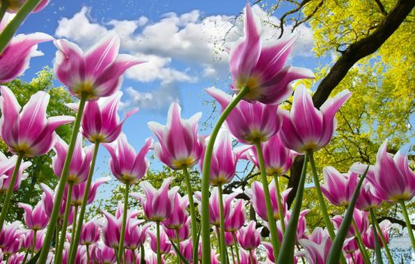 Картинка небо, ветки, тюльпаны, розовые, много