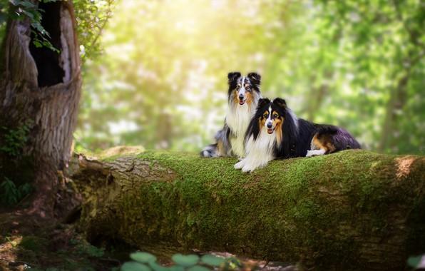 Картинка лес, язык, собаки, лето, взгляд, листья, свет, ветки, природа, фон, дерево, две, мох, пара, бревно, …