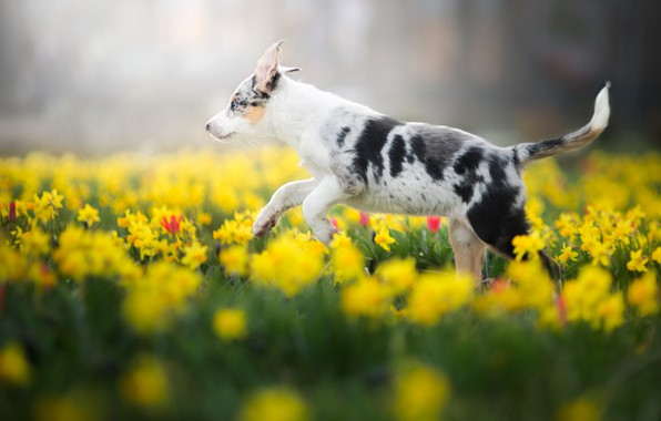 Картинка поле, белый, цветы, природа, парк, фон, поляна, собака, весна, желтые, сад, малыш, бег, щенок, прогулка, …