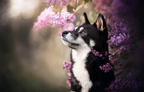 Картинка морда, собака, хаски, сирень, боке