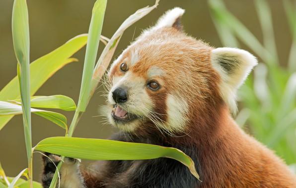 Картинка бамбук, мордашка, Красная панда, Малая панда