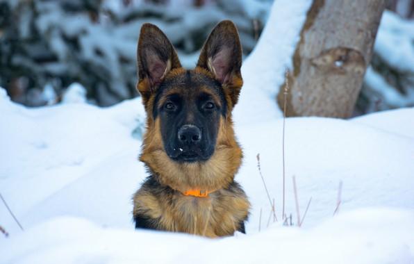 Картинка зима, взгляд, морда, снег, собака, уши, Немецкая овчарка