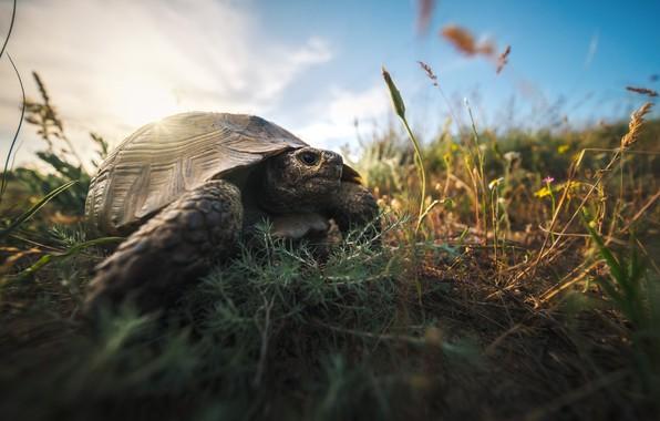 Картинка трава, природа, животное, черепаха, Кавказ, Дагестан, Оборотов Алексей