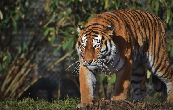 Картинка взгляд, свет, природа, тигр, поза, крадется
