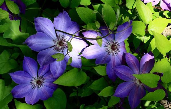 Картинка листья, цветы, клематис