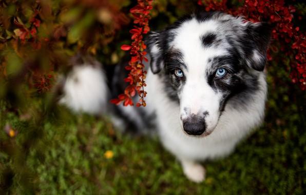 Картинка зелень, осень, трава, взгляд, морда, ветки, природа, поза, темный фон, листва, портрет, собака, хвост, белая, …