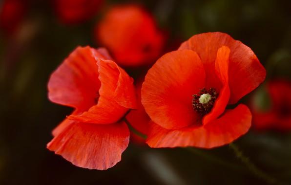 Картинка цветы, темный фон, фон, маки, красные, дуэт, алые