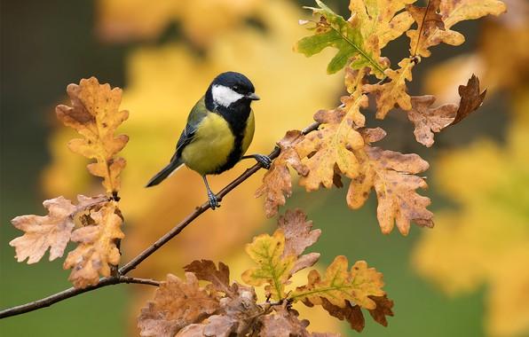 Картинка листья, фон, птица, ветка, дуб, синица