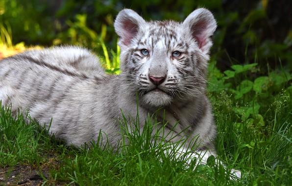 Картинка зелень, кошка, белый, трава, природа, тигр, фон, малыш, лежит, дикие кошки, мордашка, детеныш, тигренок, тигрёнок