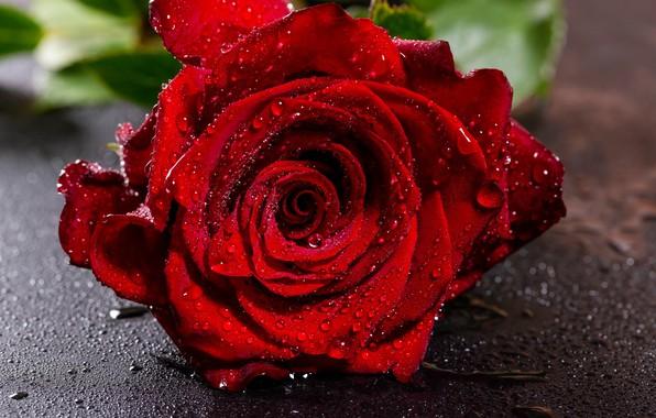 Картинка цветок, капли, крупный план, красный, роза, мокрая, бутон, боке