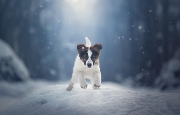 Картинка зима, снег, собака, щенок, прогулка