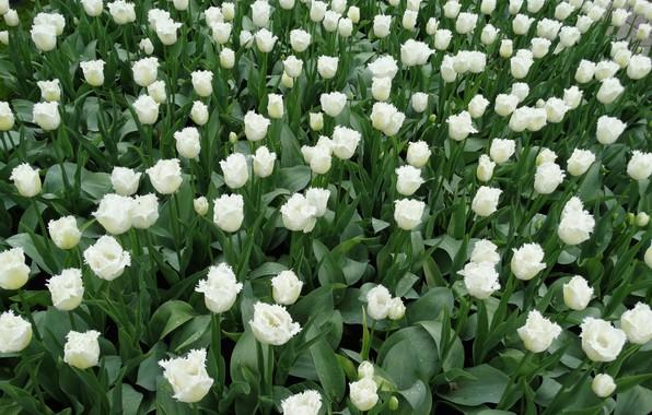 Картинка цветы, тюльпаны, белые, клумба