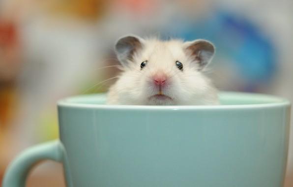 Картинка фон, чашка, морская свинка
