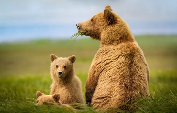 Картинка природа, звери, медведи