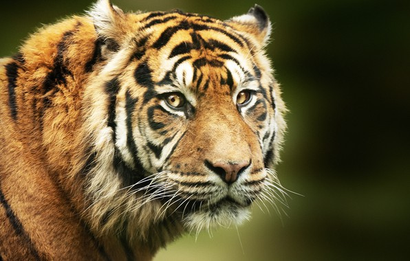 Картинка взгляд, морда, тигр, фон, портрет, хищник, дикая кошка