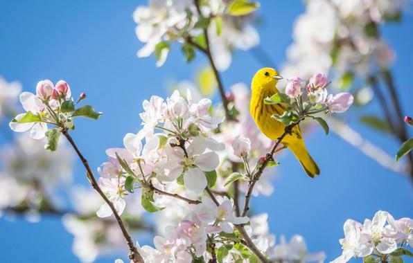 Картинка яркий, ветка, весна, птичка, яблоня, кроха