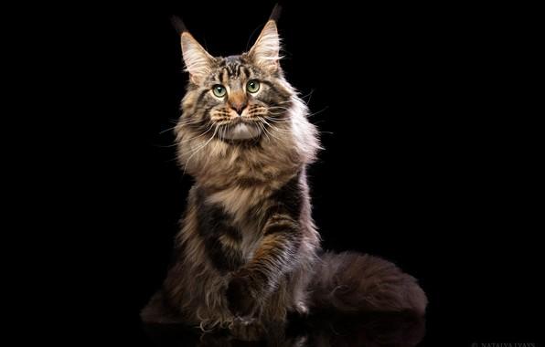 Картинка кот, взгляд, портрет, пушистый, чёрный фон, Мейн-кун, Наталья Ляйс