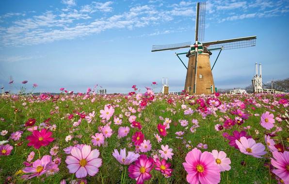 Картинка небо, цветы, луг, мельница, космея