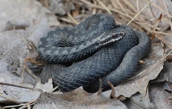 Картинка природа, змея, весна, пресмыкающееся, гадюка обыкновенная