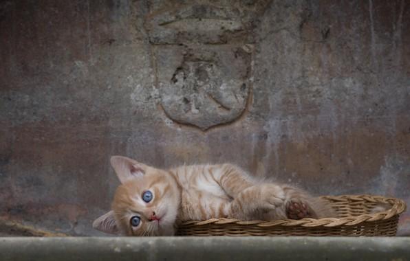 Картинка стена, лапки, рыжий, мордочка, котёнок, голубые глаза, корзинка