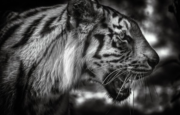 Картинка морда, тигр, портрет, чёрно-белая, профиль, дикая кошка, монохром
