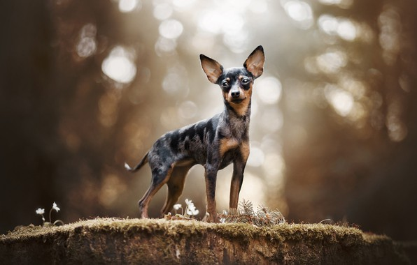 Картинка пёсик, собачонка, Русский той-терьер
