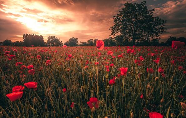 Картинка поле, лето, небо, облака, свет, деревья, пейзаж, закат, цветы, природа, мак, маки, вечер, луг, красные, …