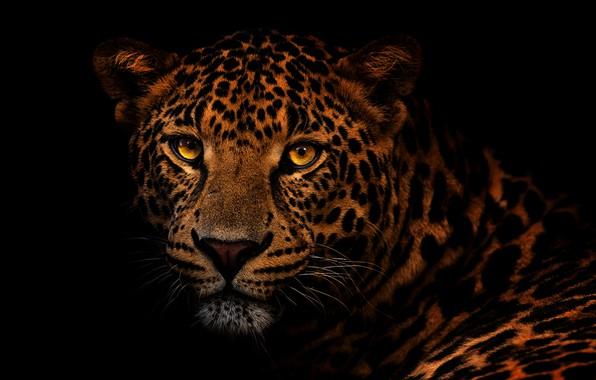 Картинка глаза, взгляд, морда, крупный план, портрет, леопард, черный фон, дикая кошка, золотые глаза