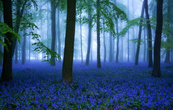 Картинка лес, цветы, весна, Misty Bluebells