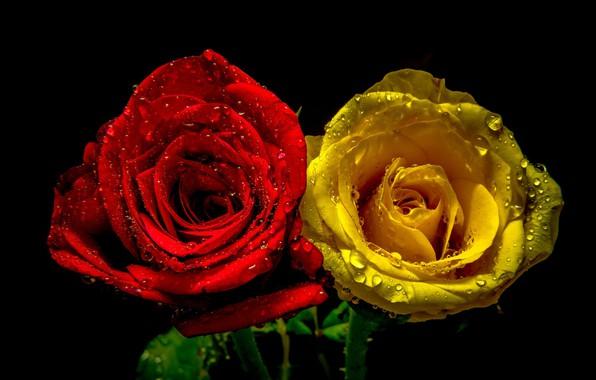 Картинка капли, розы, пара