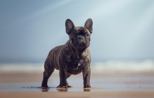 Картинка пляж, взгляд, собака, боке, Французский бульдог, крепыш