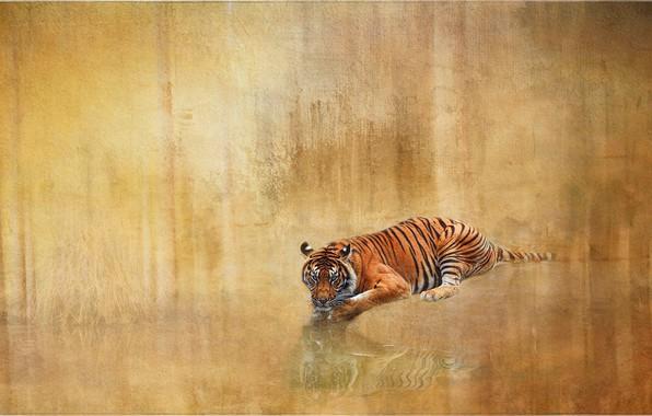 Картинка тигр, отражение, фон, текстура, дикая кошка