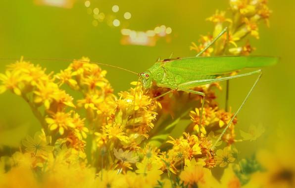 Картинка лето, макро, цветы, желтый, зеленый, фон, желтые, насекомое, кузнечик