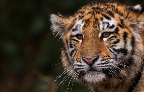 Картинка кошка, животные, взгляд, морда, крупный план, природа, тигр, темный фон, портрет, дикая кошка, тигренок, тигрёнок, …