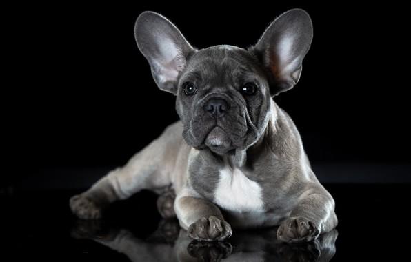 Картинка собака, французкий бульдог, щенок французскогобульдога, щенокголубогофранцузскогобульдога