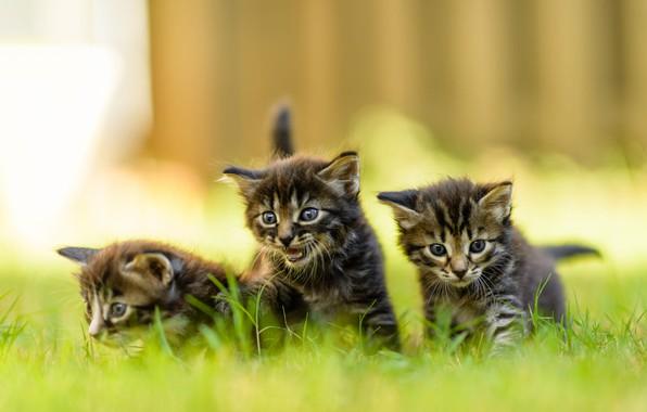 Картинка лето, трава, взгляд, природа, забор, размытие, маленькие, котята, три, прогулка, малыши, серые, трио, зеленый фон, …